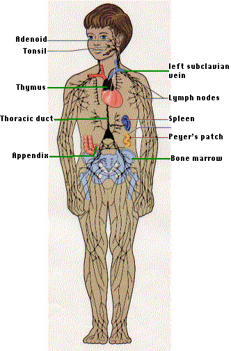 systems of body. the Immune System (which